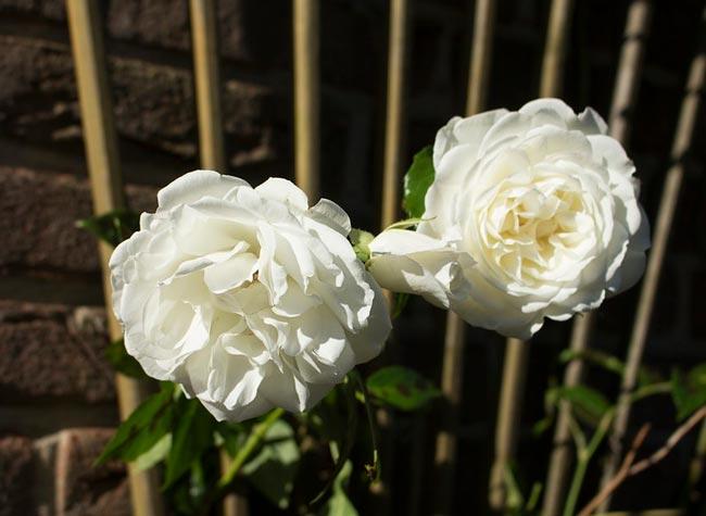 Цветы для элджернона содержание