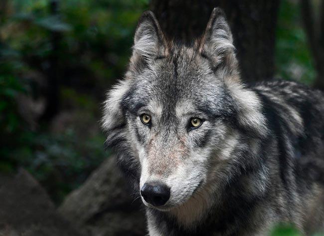 Краткое содержание Бедный волк Салтыкова-Щедрина для ...