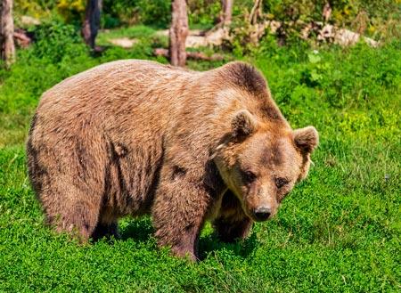 Краткое содержание Медведь на воеводстве Салтыкова-Щедрина ...